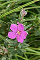Dissotis canescens (Melastomataceae) (4804895015).jpg