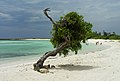 Divi Tree on Baby Beach Aruba (2908229093).jpg