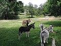 Donkeys in a field dscn1167.jpg