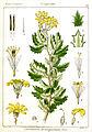 Doronicum lessingianum Rungiah.jpg