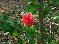Double Hibiscus (460140490).jpg