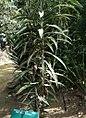 Dracaena deremensis - Arusha gardens.jpg
