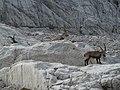 Drei Steinböcke auf Kalk-Terasse im Dachsteingebirge.jpg