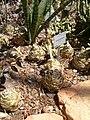 Drimia altissima KirstenboschBotGard09292010E.JPG