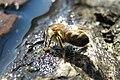 Drinking Bee3.jpg