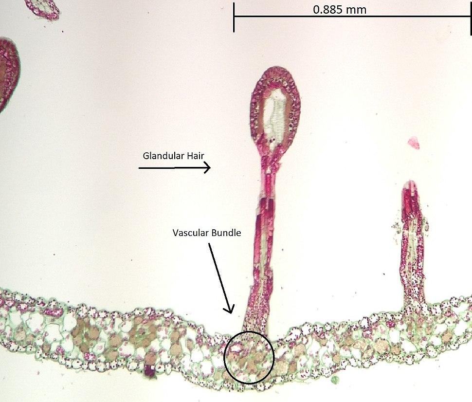 Drosera Glandular Hair