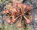Drosera tokaiensis (leaf s2).jpg