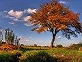 Drzewko - panoramio.jpg