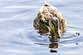 Duck (43482897264).jpg