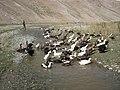 Duck farm in Lar plain, Dasht-e Lar, Lar river, Alborz, Tehran پرورش اردک در دشت لار، استرکُلَک، اسب کالَک، بند ملک چشمه، رود لار - panoramio.jpg