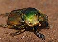 Dung Beetle (Scarabaeidae) (11929168524).jpg