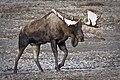 Early season snow decorates a bull's antlers in Denali (85e8c25b-8652-454e-a08d-5f28933a93ae).jpg