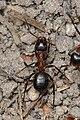 Eastern Black Carpenter Ant (Camponotus pennsylvanicus) - Guelph, Ontario 2017-05-17.jpg