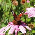 Echinacea purpurea-IMG 5666.jpg