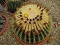 Echinocactus grusonii (3772535603).jpg