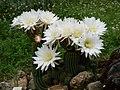 Echinopsis schickendantzii.jpg