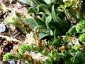 Echium flavum FlowersCloseup 25July2009 SierraNevada.jpg