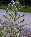 Echium vulgare a1.jpg
