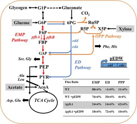 Redistribution of fluxes between the three primary glucose catabolic pathways: EMPP (red), EDP (blue), and OPPP (orange) via the knockout of pfkA and overexpression of EDP genes (edd and eda).