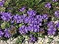 Edraianthus graminifolius 02.JPG