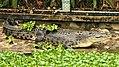 Ee crocodile cebu zoo 4a.jpg