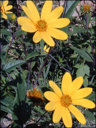 Endangered Species Act of 1973 - Image: Eggert's Sunflower