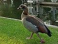 Egyptian goose, Pangbourne - geograph.org.uk - 427286.jpg