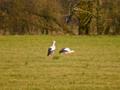 Ein Storchenpaar bei Aufenau.png