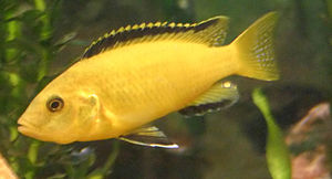 Mbuna - An electric yellow cichlid, Labidochromis caeruleus.