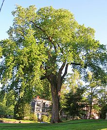 Elm Tree at Smith College, Northampton, MA June 2012.jpg