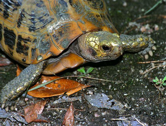 632px-Elongated_Tortoise_(Indotestudo_elongata)_(7788501866).jpg (632×480)