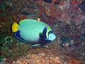 Emperor angelfish at North Sands DSC05718a.jpg