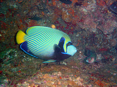 Emperor angelfish at North Sands DSC05718a.jpg