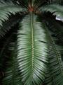 Encephalartos altensteinii 002.jpg