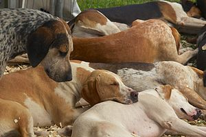 English Foxhound - English Foxhounds at rest.