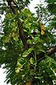 Epipremnum aureum - Kolkata 2011-09-24 5720.JPG