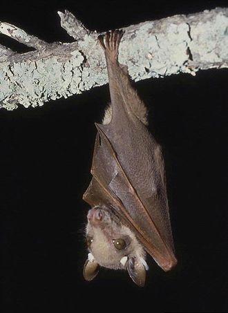 Wahlberg's epauletted fruit bat - Image: Epomophorus wahlbergi 1