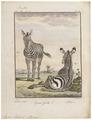 Equus zebra - 1700-1880 - Print - Iconographia Zoologica - Special Collections University of Amsterdam - UBA01 IZ21700039.tif