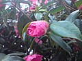 Ericales - Camellia japonica - 2.jpg