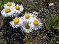 Erigeron annuus flowers by the Mogami River in Yonezawa, Yamagata 最上川辺のヒメジョオン (5795366075).jpg