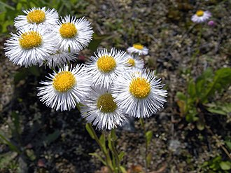 Erigeron annuus - Flowers and buds