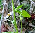 Erigeron annuus subsp. strigosus ENBLA14.jpg