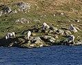 Eriskay ponies by Loch Cracabhaig (Geograph 2129787 by Rob Burke).jpg