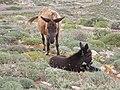 Esel auf Folegandros.jpg