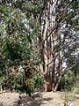 Eucalyptus cloeziana 2.jpg