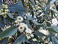 Eucalyptus laeliae kz8.jpg