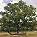 Eucalyptus microcorys - specimen tree.jpg