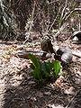 Eulophia guineensis 0002.jpg