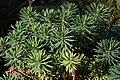 Euphorbia characias JdP.jpg