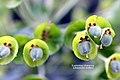 Euphorbia characias subspecies wulfenii (9094798746).jpg